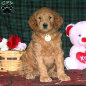 doodle name justine goldendoodle puppies for sale in pa greenfield puppies