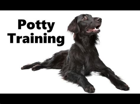 flat coated retriever training guide how to potty train a flat coated retriever puppy house training flat coated retriever puppies