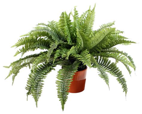 boston fern indoor plant in the white pot stunning indoor plants boston fern in orange ceramic pot contemporary