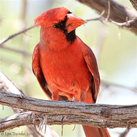 best 28 are there cardinal birds in arizona northern