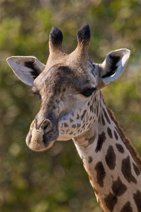 what color is a giraffe disappearing giraffes