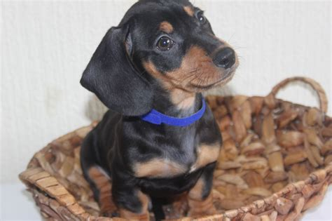 dogs now beautiful mini sausage dogs for sale ready now doncaster south pets4homes