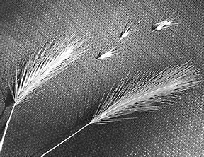 foxtail paw foxtails not just for outdoor pets dangers of foxtails