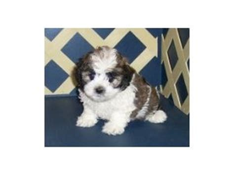 havachon puppies for sale havanese puppies for sale