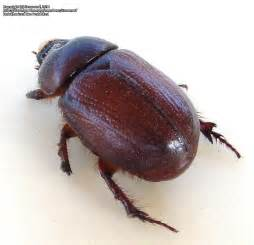 beetle garden pest identification insect and spider identification closed brown beetle 1