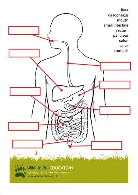 diagram of the ks2 human digestive system unlabeled