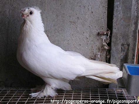 uzbek pigeons pigeon photos uzbekistan tumbler