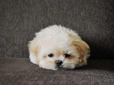 shih tzu pekingese poodle mix the pekingese poodle mix i poodles