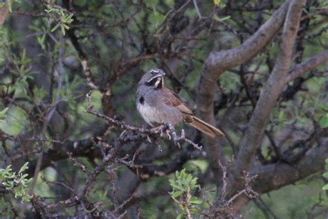 california gulch five striped sparrow black capped