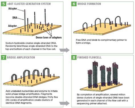 illumina gene sequencing illumina sequencing related keywords keywordfree