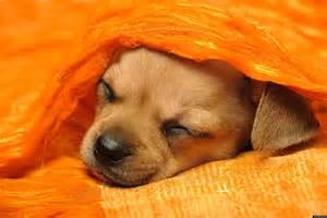 Dogs Sleeping In Bedroom Should Our Puppy Sleep With Us Or Be Banned From The