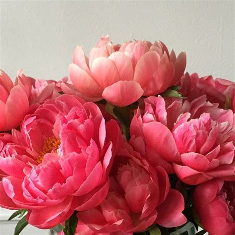 peonies in season 208 best peonies images on pinterest peonies beautiful