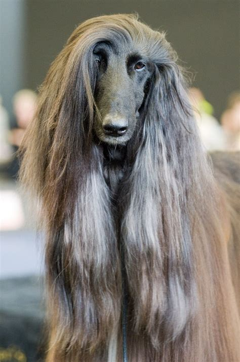 Afghan Hound by 283 Best Images About Afghan Hound On