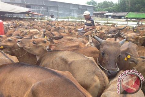 Bibit Sapi Terkini ketapang datangkan 800 bibit sapi bali antara news