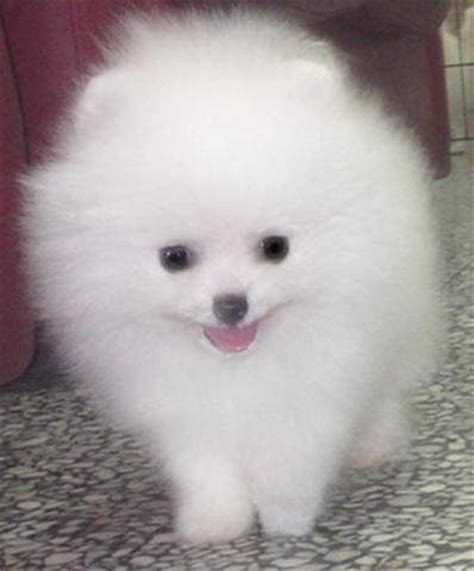 white pomeranian puppies for sale australia white pomeranian puppies for sale for sale adoption from new south wales sydney metro
