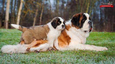 dieta para san bernardo dieta para san bernardo ranking 16 razas de perro m 225 s