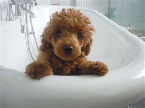 small golden retriever uk what is a goldendoodle