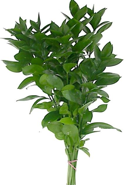 italian ruscus decorative greens perla farms greens
