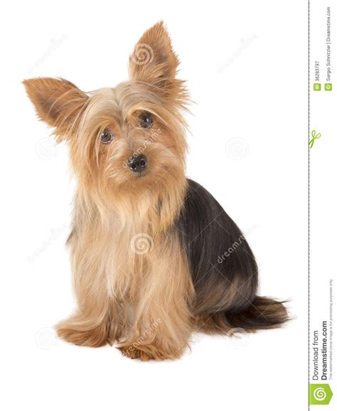 picture of one year old yorkie with puppy cut yorkshire terrier dog stock image image of isolated
