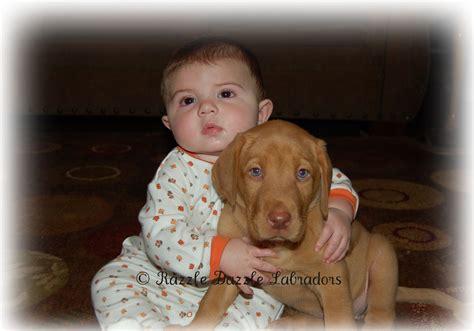 yellow lab puppies for sale in sc razzle dazzle razzle dazzle labradors