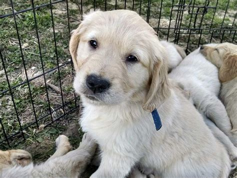 american golden retriever breeders country comes home american and golden