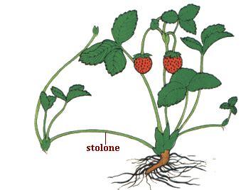 coltivazione delle fragole in vaso coltivazione fragole in vaso o nell orto tecnologia e