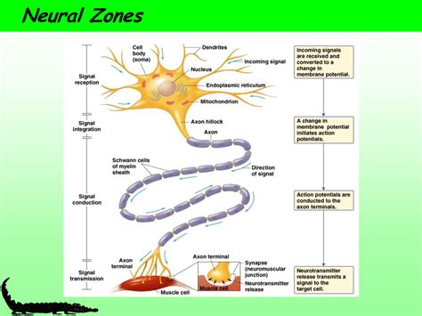 neuron diagram and functions motor neuron diagram neuron structure and function 4