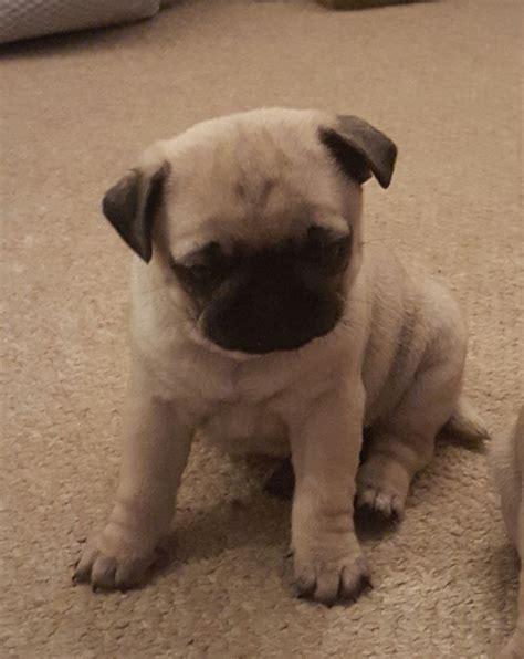 bulldog x pug pug x bulldog x pug pinner middlesex pets4homes