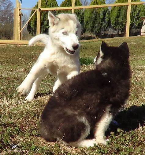 siberian husky puppy cost how much do husky puppies cost 171 siberian husky puppies for sale siberian husky