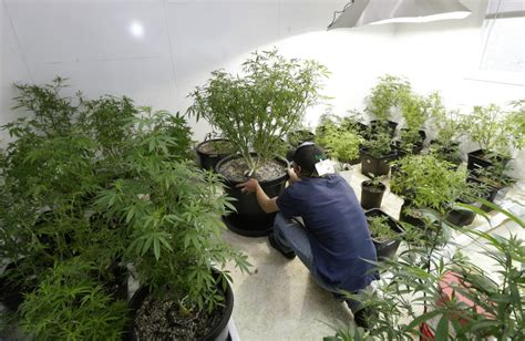potential environmental consequences  legalizing pot
