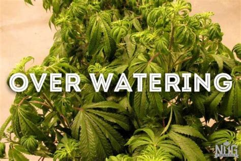 grow marijuana  ultimate organic guide