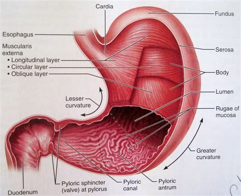 a diagram of the stomach stomach parts diagram anatomy organ