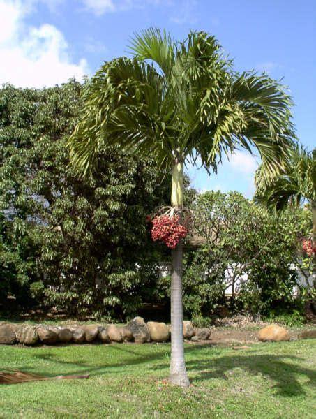 cheapest chrsitmas tree in manila manila palm or palm veitchia merrillii palmeiras e plantas
