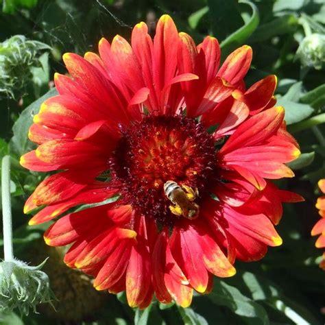 Sun Flowers Flanel 70 best gaillardia images on blanket blankets and felt
