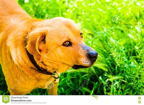 happy dog house happy dog in heavenly village house garden stock photo image 71338254