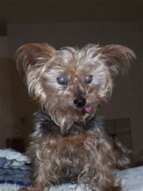 yorkie overweight news cary tennis should we euthanize the yorkie