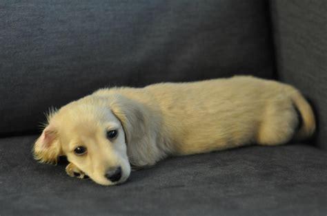 golden dachshund puppies best 25 golden dachshund ideas on golden weiner dachshund mix and