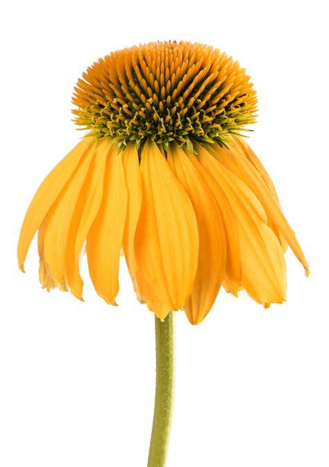yellow coneflower info   grow yellow coneflower