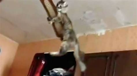 Cat In Ceiling Fan by Cat Accepts The Ceiling Fan Challenge Rtm Rightthisminute