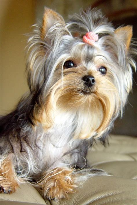 yorkie with hair pictures of yorkies with thin hair pictures of yorkies with thin hair 25 best ideas about