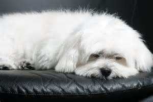 Maltese Do They Shed by 1000 Ideas About Maltipoo On Rednose