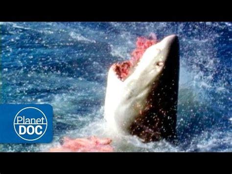 australia el gran tibur 243 n blanco documental completo youtube download australia el gran tibur 243 n blanco documental completo video mp3 mp4 webm download