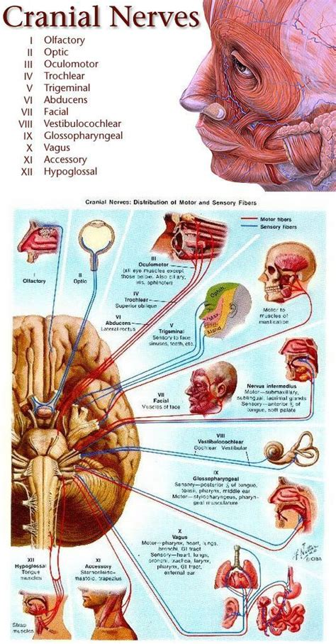 cranial nerve diagram 277 best images about anatomy physiology on