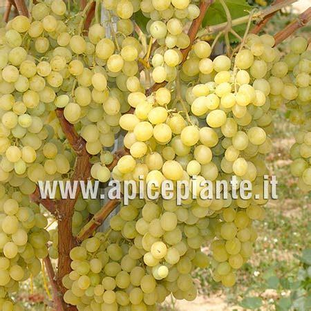 uva da tavola italia uve da tavola vitis vinifera l vitaceae uva italia