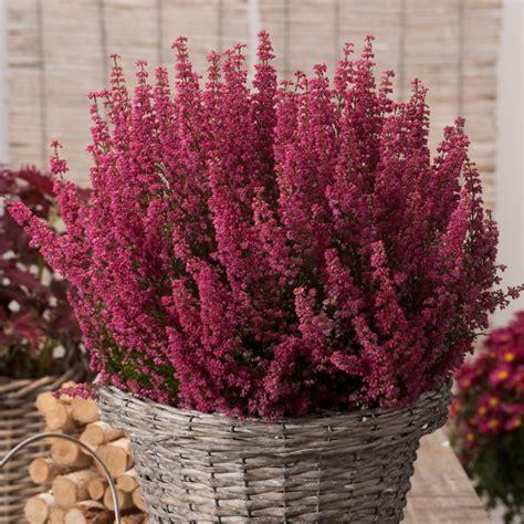 fiore canula viola v 233 kony hanga erica gracilis kerti n 246 v 233 nyek fitoland hu