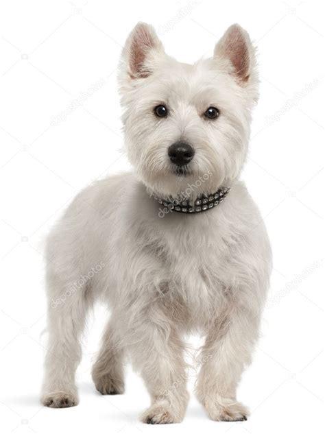 styles of clips for west highland terriers west highland white terri 235 r 8 maanden oud staande voor