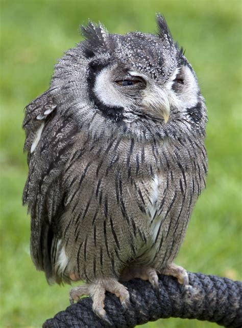 Jump Owl White file white faced scops owl 4571082914 jpg wikimedia