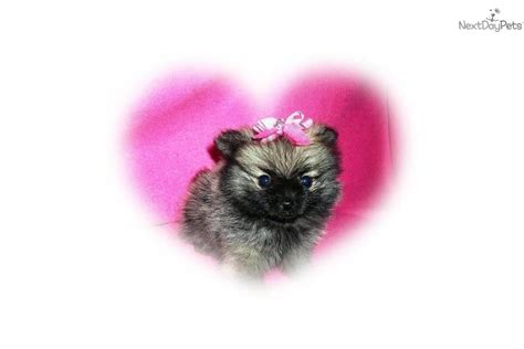 teacup wolf pomeranian pomeranian puppy for sale near palm springs california 05b6c67d 8c91
