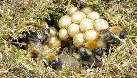 Bumble Bee Nest Shed by The Inside Of A Bumblebee Nest Can Appear Quite And