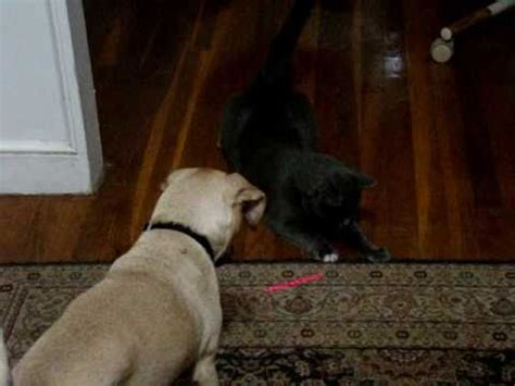 dogs and laser pointers cats vs laser pointer compilation funnycat tv